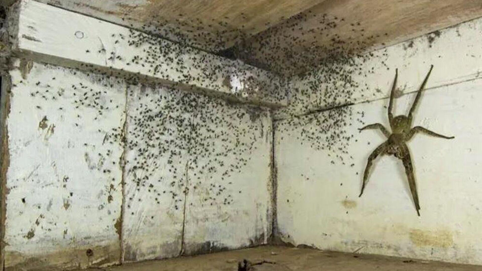 Άντρας βρήκε τεράστια δηλητηριώδη αράχνη κάτω από το κρεβάτι να έχει γεννήσει χιλιάδες αραχνάκια - Sputnik Ελλάδα, 1920, 14.10.2021