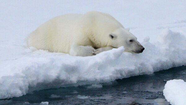 Πολική αρκούδα στο αρχιπέλαγος Φραντς Τζόζεφ - Sputnik Ελλάδα