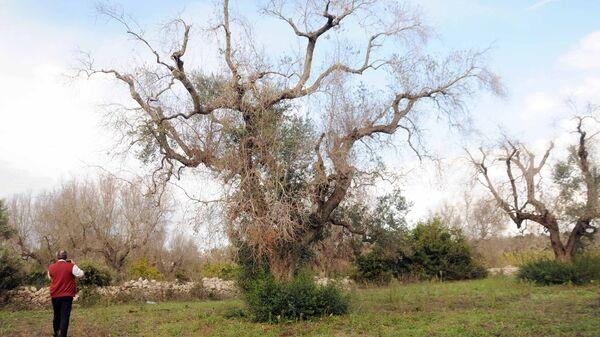 Ελαιόδεντρο που έχει προσβληθεί από το βακτήριο ξυλέλλα στην Ιταλία - Sputnik Ελλάδα