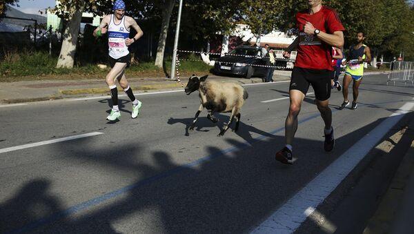 Πρόβατο στον Μαραθώνιο της Αθήνας - Sputnik Ελλάδα