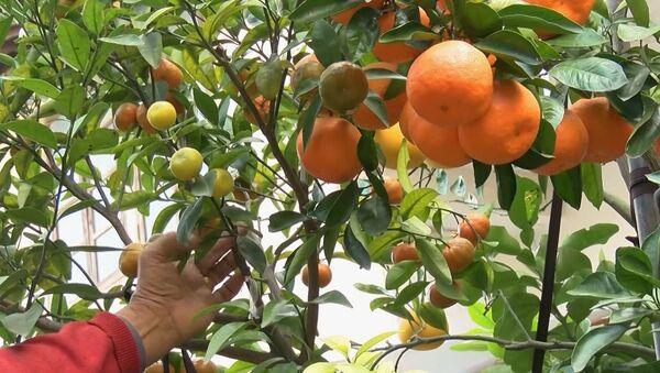 Παππούς καλλιεργεί  στον κήπο του δέντρο με έντεκα διαφορετικά είδη εσπεριδοειδών - Sputnik Ελλάδα