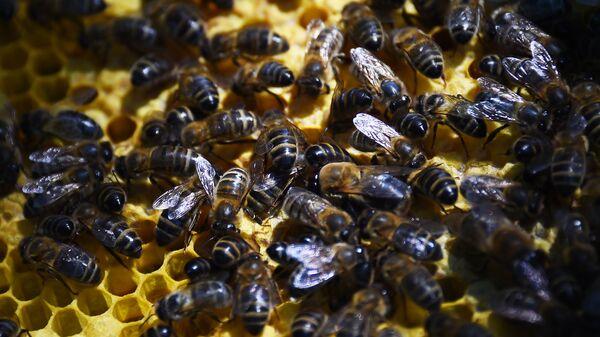 Σμήνος από μέλισσες - Sputnik Ελλάδα