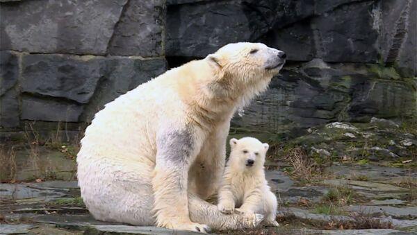 Ο νέος Κνουτ: Το πιο γλυκό πολικό αρκουδάκι κάνει την πρώτη του δημόσια εμφάνιση - Sputnik Ελλάδα
