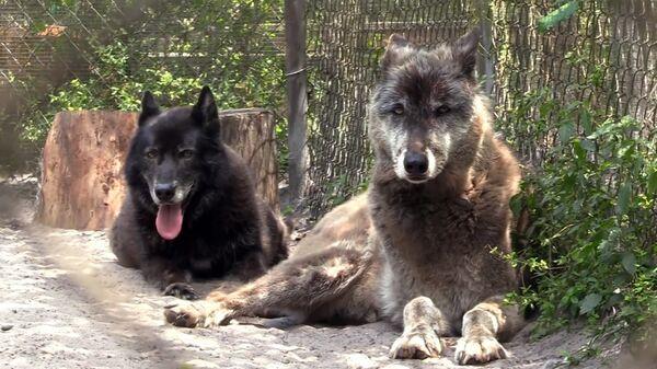 Γνωρίστε τον Γιούκι και τον Μόχαν, τα δύο πανέμορφα γιγάντια λυκόσκυλα - Sputnik Ελλάδα