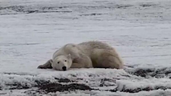 Υποσιτισμένη πολική αρκούδα βρέθηκε 700 χιλιόμετρα μακριά από το σπίτι της - Sputnik Ελλάδα