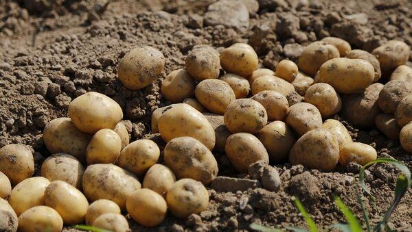 Παραγωγή πατάτας - Sputnik Ελλάδα