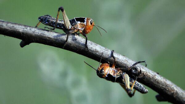 Swarm of Locusts - Sputnik Ελλάδα