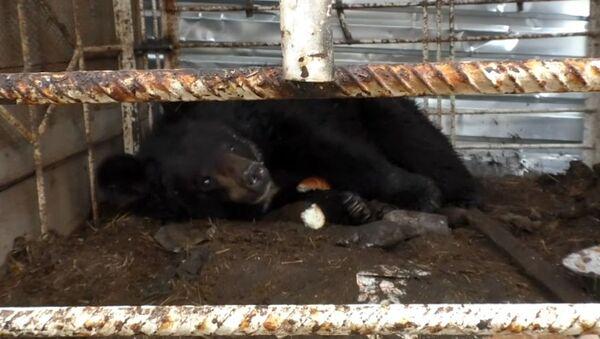 Αρκούδα που εγκαταλείφθηκε να πεθάνει βρίσκει νέο σπίτι - Sputnik Ελλάδα