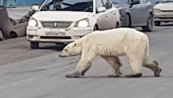 Εξαντλημένη και πεινασμένη πολική αρκούδα περιπλανιέται σε πόλη της Σιβηρίας - Sputnik Ελλάδα
