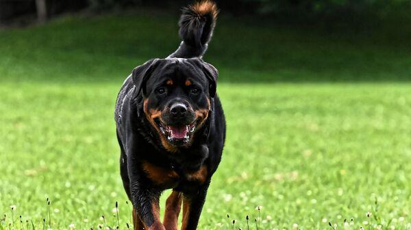 Σκύλος ροτβάιλερ - Sputnik Ελλάδα