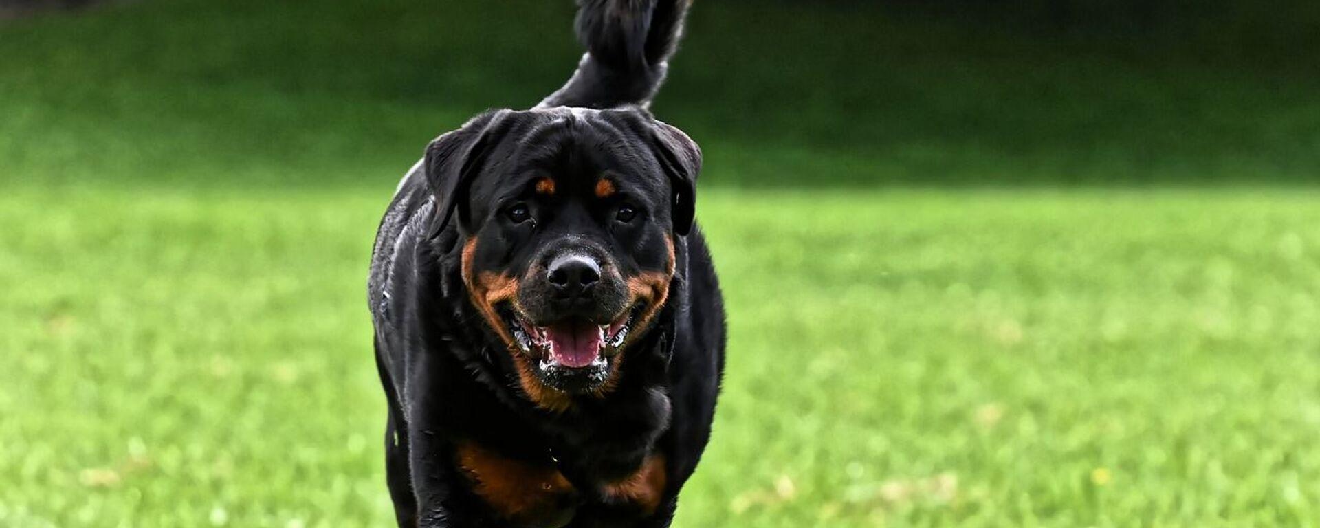 Σκύλος ροτβάιλερ - Sputnik Ελλάδα, 1920, 07.10.2021