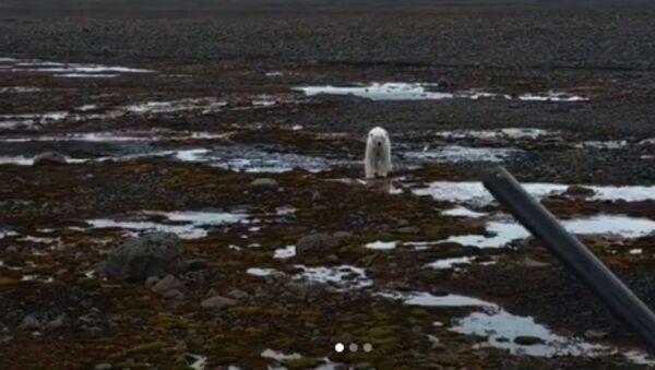 Πεινασμένη πολική αρκούδα την πέφτει σε Ρώσους εξερευνητές - Sputnik Ελλάδα