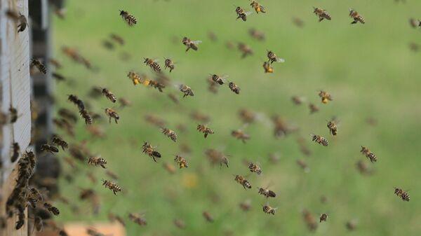 Μέλισσες - Sputnik Ελλάδα