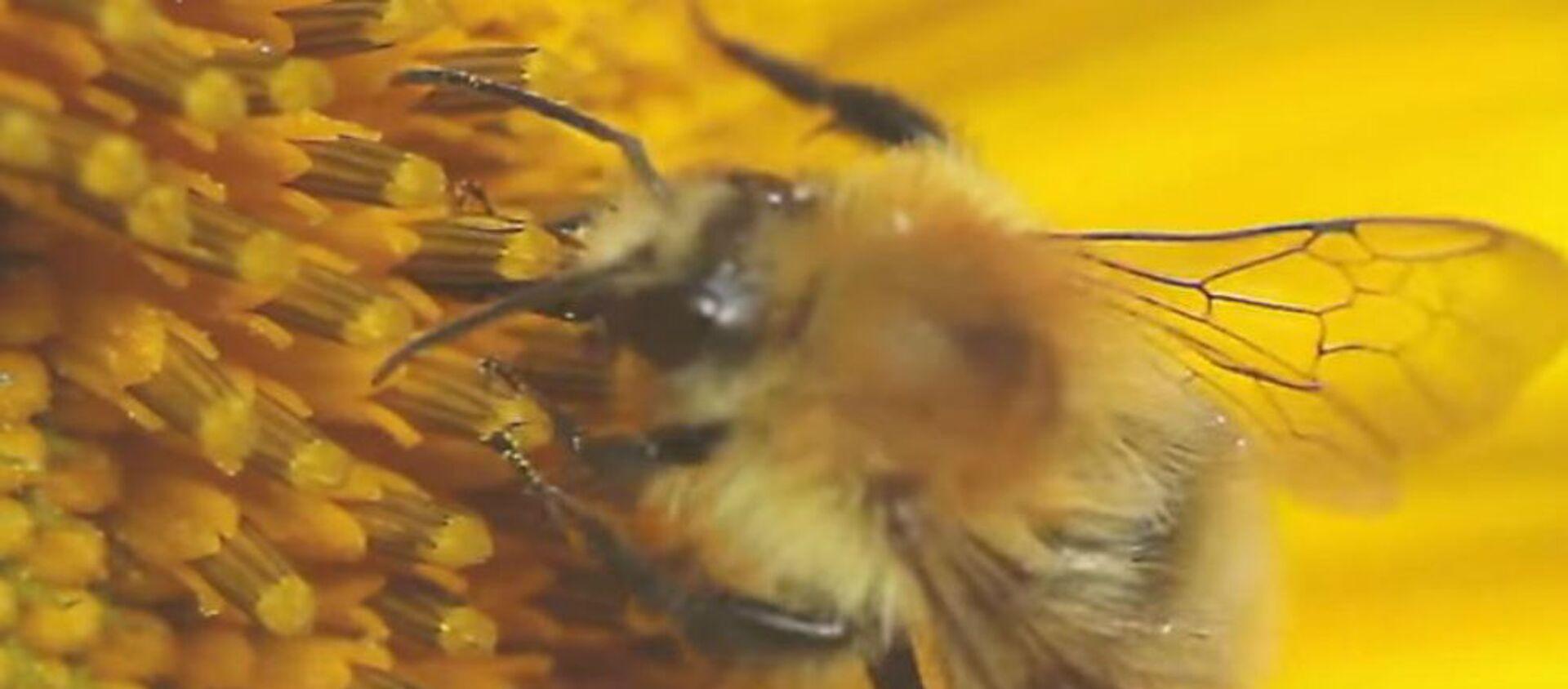 Μέλισσα μαζεύει γύρη - Sputnik Ελλάδα, 1920, 11.10.2019