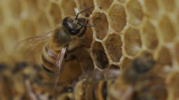 Μέλισσα εναποθέτει μέλι σε κερύθρα κυψέλης - Sputnik Ελλάδα