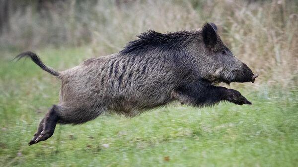 Αγριογούρουνο τρέχει στο δάσος - Sputnik Ελλάδα