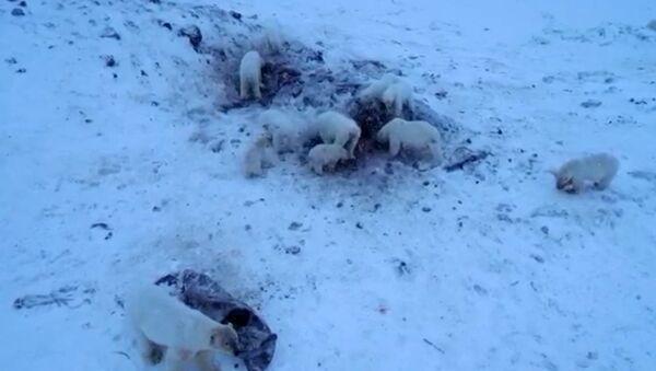 Μαζική εισβολή πολικών αρκούδων σε χωριό στη Ρωσία - Sputnik Ελλάδα