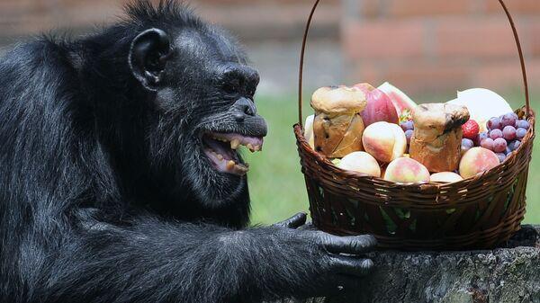 Ο χιμπατζής Yoko παίρνει δώρο ένα χριστουγεννιάτικο καλάθι με φρούτα στο ζωολογικό κήπο του Ρίο ντε Τζανέριο στις 18 Δεκεμβρίου 2012 - Sputnik Ελλάδα