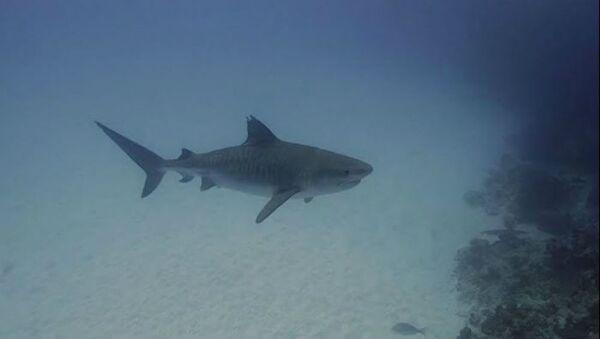 Καρχαρίας στα νερά της Αυστραλίας - Sputnik Ελλάδα