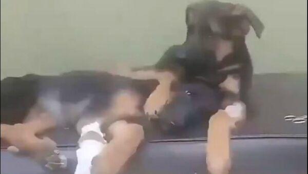 Η αδερφούλα του έκανε εγχείρηση και το μικρό λυκόσκυλο δεν έλειψε λεπτό από δίπλα της - Sputnik Ελλάδα