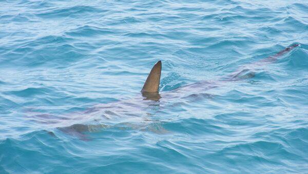 Πτερύγιο καρχαρία - Sputnik Ελλάδα