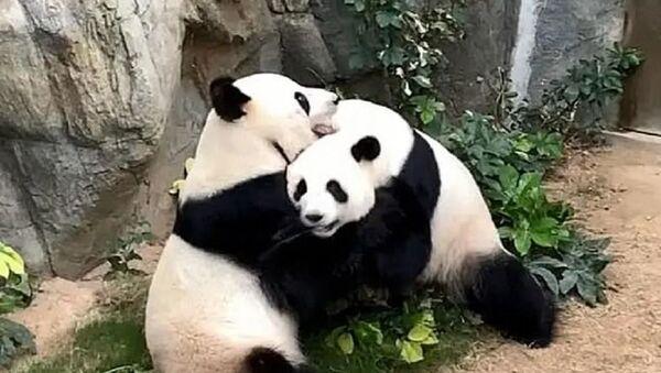 Πάντα στον ζωολογικό κήπο Ocean Park στο Χονγκ Κονγκ - Sputnik Ελλάδα