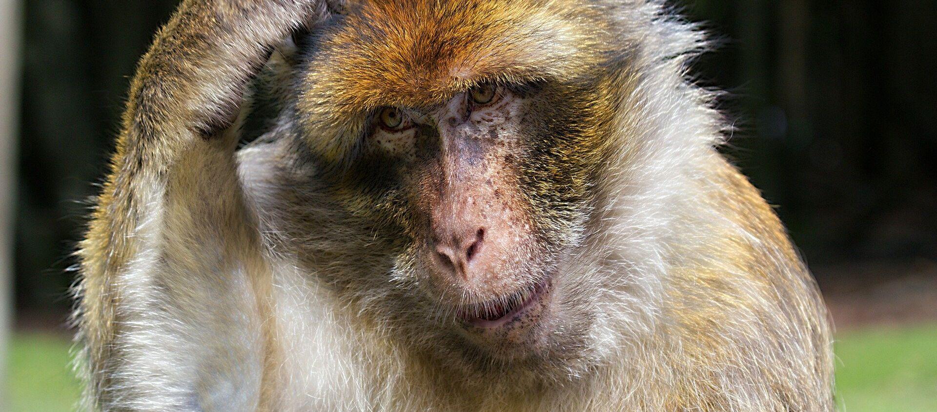 Μια μαϊμού - Sputnik Ελλάδα, 1920, 18.06.2020
