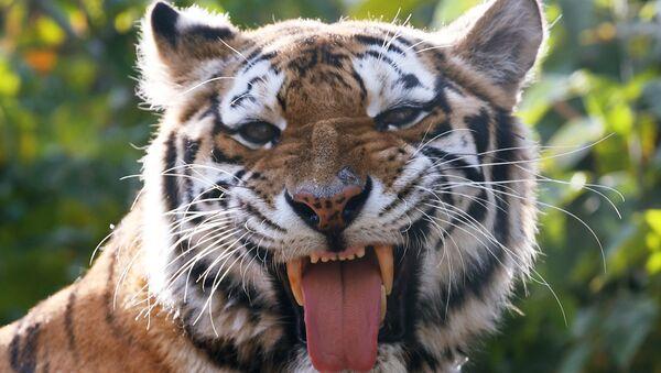 Μία τίγρης (φωτ. αρχείου) - Sputnik Ελλάδα