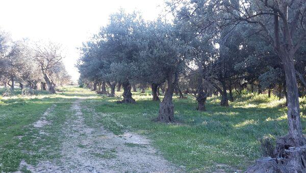 Ελαιόδεντρα σε ελαιώνα - Sputnik Ελλάδα