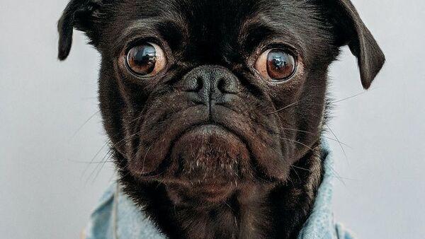 Σκύλος - Sputnik Ελλάδα