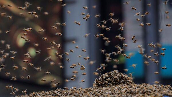 Ένα σμήνος μέλισσες επιτέθηκε σε ένα καροτσάκι χοτ ντογκ στη Νέα Υόρκη, 28 Αυγούστου - Sputnik Ελλάδα