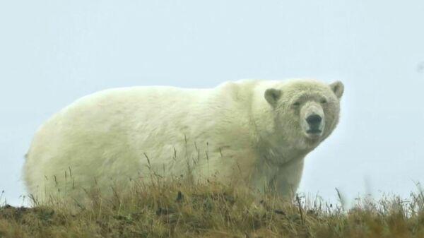 Περιπολία πολικής αρκούδας: Εθελοντές εξασφαλίζουν την ασφάλεια ανάμεσα στα ζώα και στους ανθρώπους - Sputnik Ελλάδα