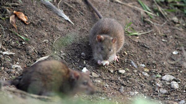 Δύο ποντίκια (φωτ. αρχείου) - Sputnik Ελλάδα
