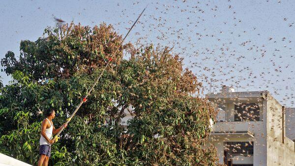 Κάτοικος της Τζαϊπούρ προσπαθεί να διώξει τις ακρίδες από δέντρο μάνγκο, 25 Μάη, 2020  - Sputnik Ελλάδα