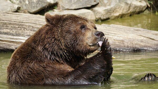 Μια αρκούδα σε αιχμαλωσία στην Καμτσάτκα της Ρωσίας - Sputnik Ελλάδα