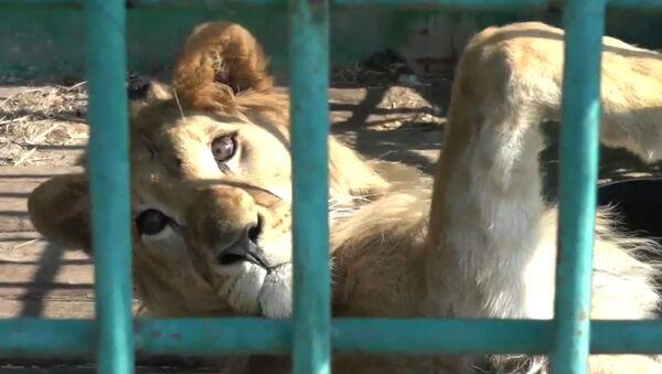 Λιοντάρι που λιμοκτονούσε σε τσίρκο σώθηκε από την ευθανασία και αναρρώνει σε καταφύγιο σκύλων - Sputnik Ελλάδα